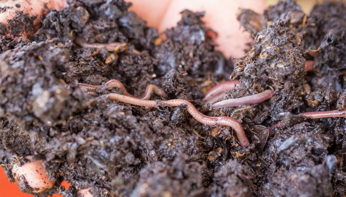 Everything That You Need to Know About Composting Worms